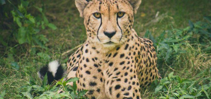 Plusieurs pays africains veulent envoyer un guépard dans la course d'athlétisme des 100 mètres aux JO de 2021 pour promouvoir la transidentité.